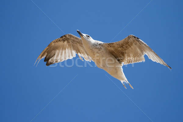 Seagull on the blue sky background. Stock photo © All32
