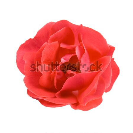 Red rose. Stock photo © All32