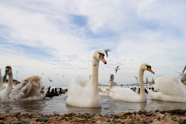 Waterfowl Stock photo © All32