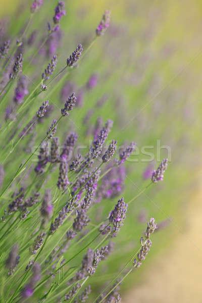 Bloei lavendel kan gebruikt bloem Stockfoto © All32