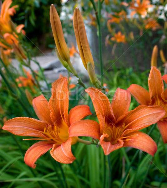 Kleurrijk lelie bloem groene blad leven Stockfoto © All32