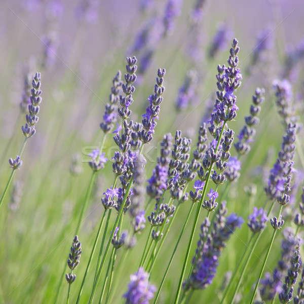 Floración lavanda pueden utilizado flor Foto stock © All32