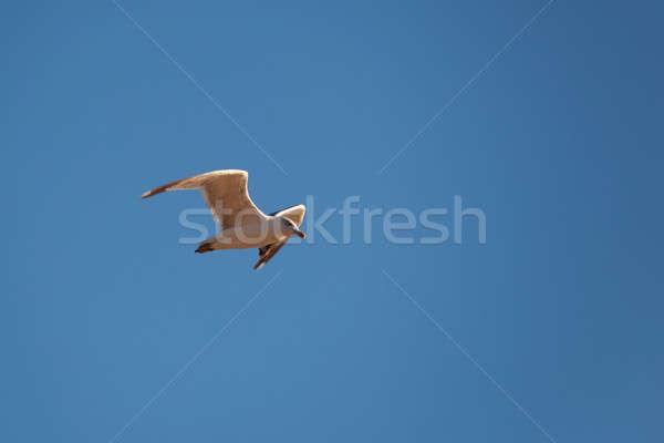 Gaviota vuelo cielo azul cielo naturaleza luz Foto stock © All32