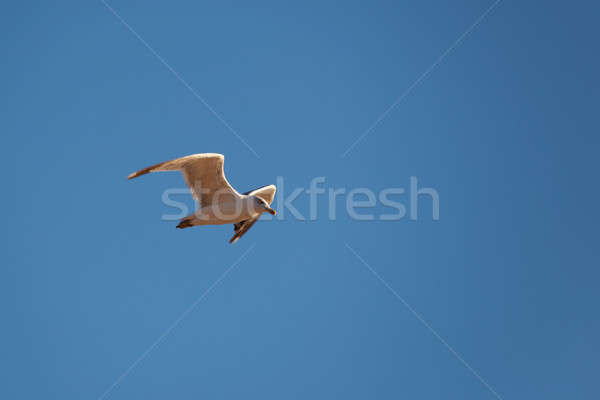 Zeemeeuw vlucht blauwe hemel hemel natuur licht Stockfoto © All32