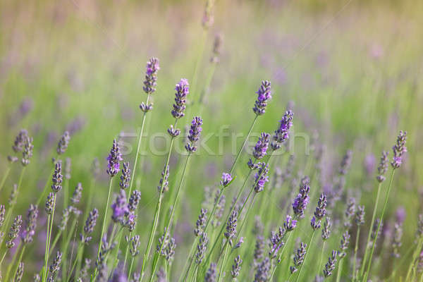 Branches of flowering lavender Stock photo © All32