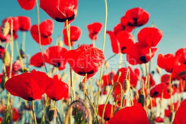 Rouge coquelicots ciel bleu printemps nature paysage Photo stock © All32