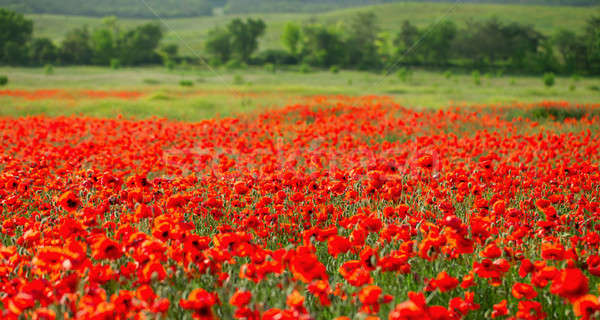 Field with red poppies Stock photo © All32