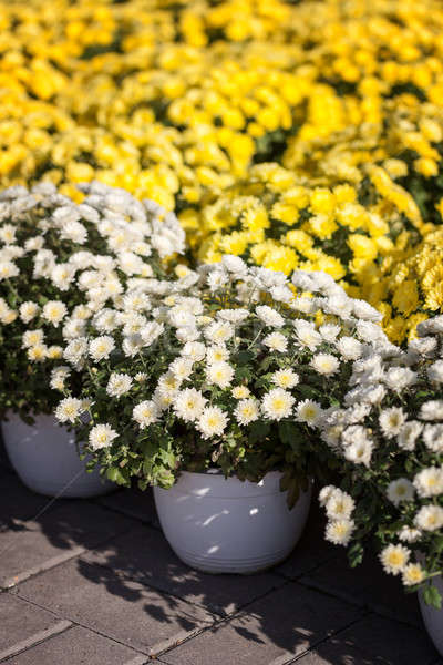 Jaune blanche floraison jardin fond Photo stock © All32