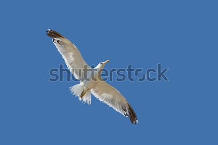Stock photo: Seagull flying