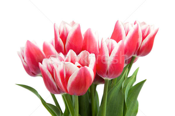 Red tulips Stock photo © All32