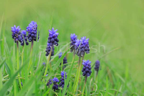 Gyönyörű kék jácint virágok zöld fű virág Stock fotó © All32