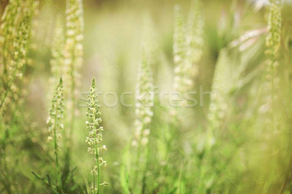 Flores silvestres luz do sol macio turva verão verde Foto stock © All32