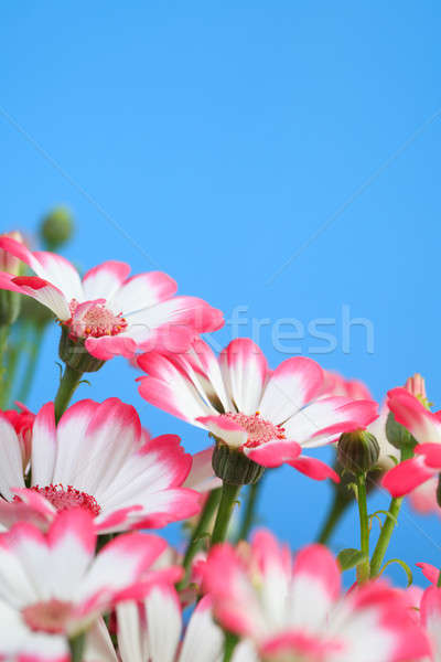 Beautiful flowers marguerites  Stock photo © All32