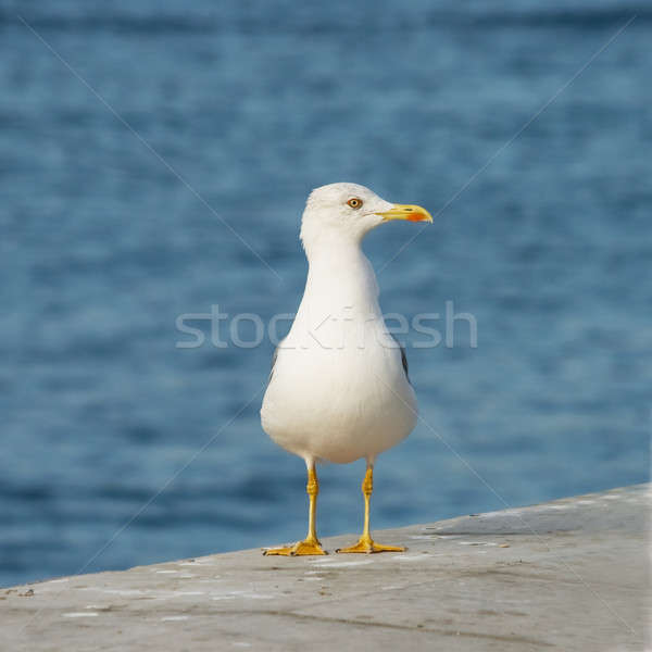 Seagull against a background sea. Stock photo © All32