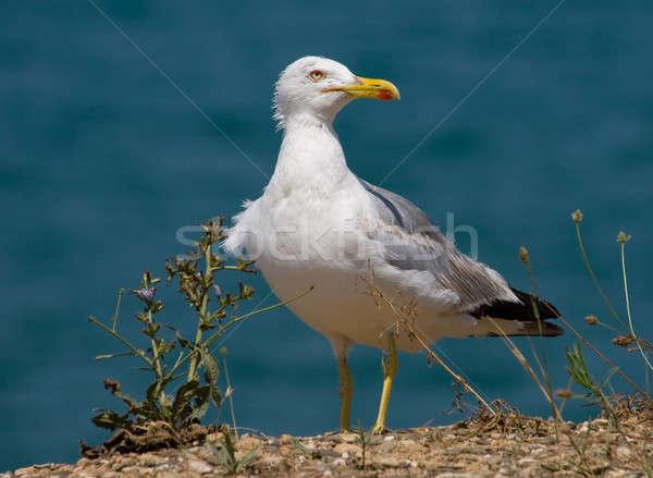 Sirály part kék természet tenger madár Stock fotó © All32