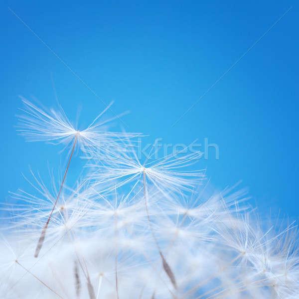 Dandelion fluff  Stock photo © All32