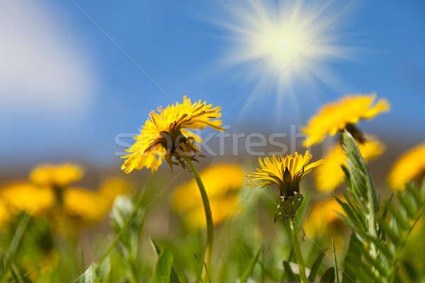 Dandelion flores blue sky sol flor primavera Foto stock © All32