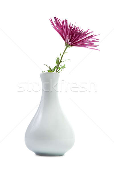 Purple хризантема ваза изолированный белый цветок Сток-фото © All32