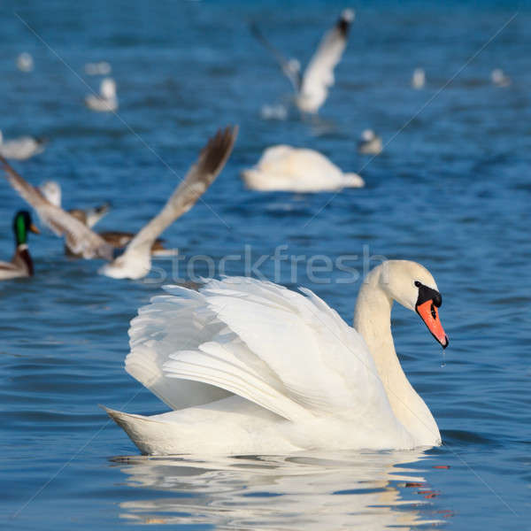White swans floating on the water  Stock photo © All32