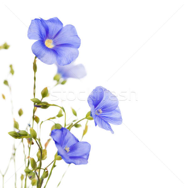 Beautiful flowers of flax  Stock photo © All32