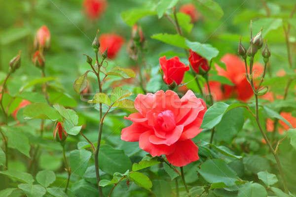 Belo rosas folha verão verde Foto stock © All32