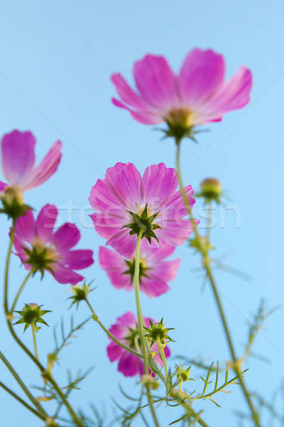 Beautiful flowers cosmos Stock photo © All32