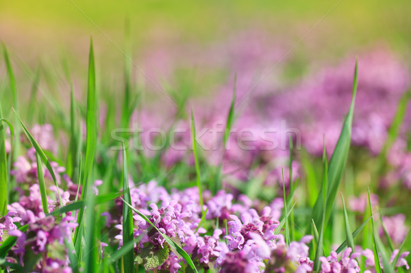 Beautiful flowers of the field Stock photo © All32