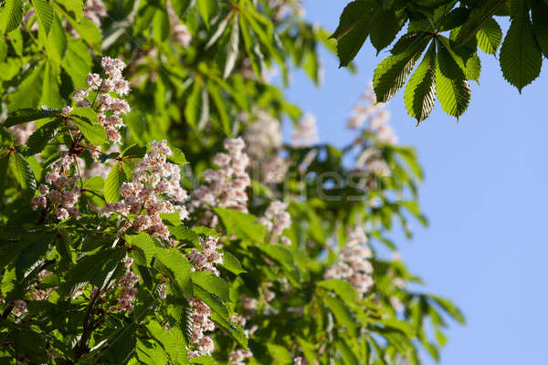 Bloei kastanje groene bladeren boom natuur Stockfoto © All32
