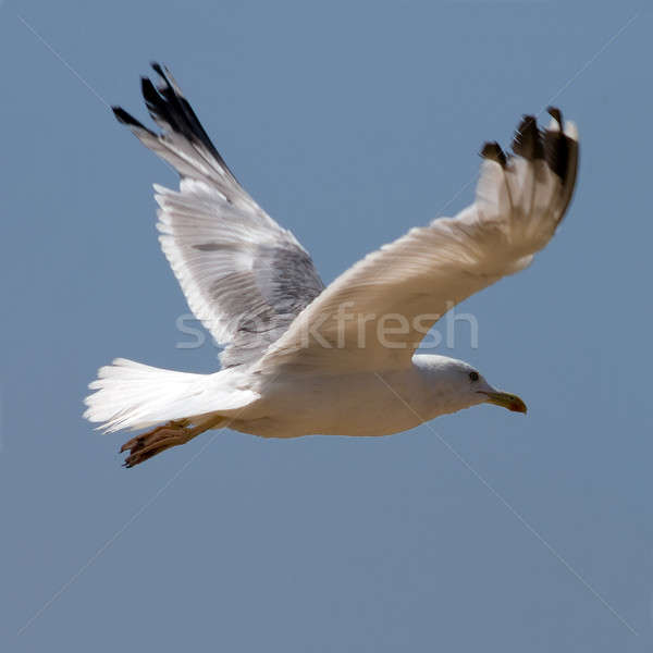 Seagull on the blue background Stock photo © All32