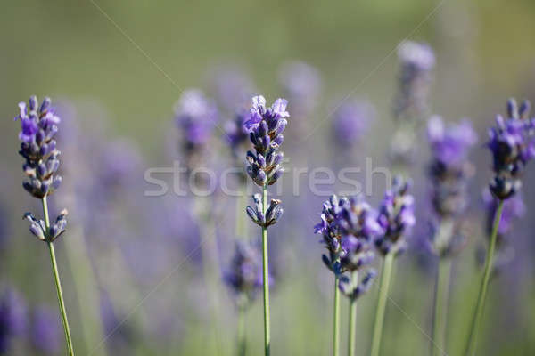 Beautiful sprigs of lavender Stock photo © All32