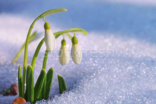 First snowdrops Stock photo © All32