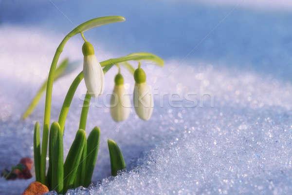 первый весны природы фон зима группа Сток-фото © All32