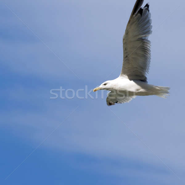 Martı gökyüzü doğa deniz arka plan kuş Stok fotoğraf © All32