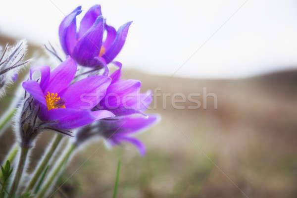 Purple flowers, dream herb Stock photo © All32