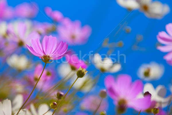 Flores blue sky céu verde branco rosa Foto stock © All32
