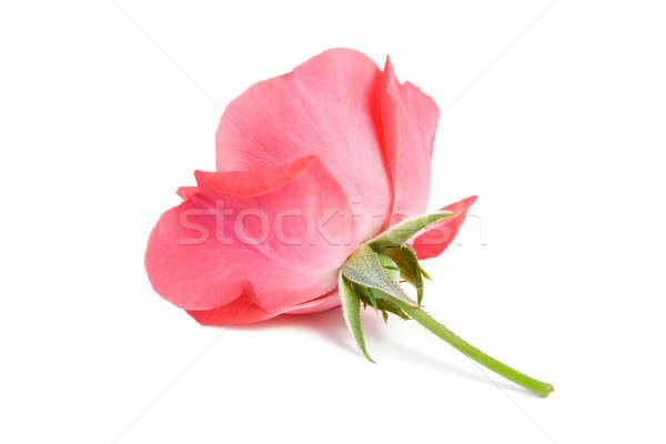 Rood rose geïsoleerd witte steeg ontwerp gezondheid Stockfoto © All32