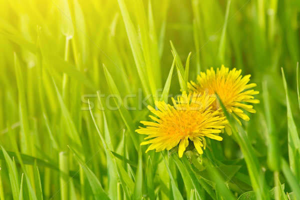 Dandelion flores grama verde primavera floresta sol Foto stock © All32