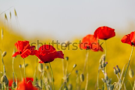 The red poppies Stock photo © All32