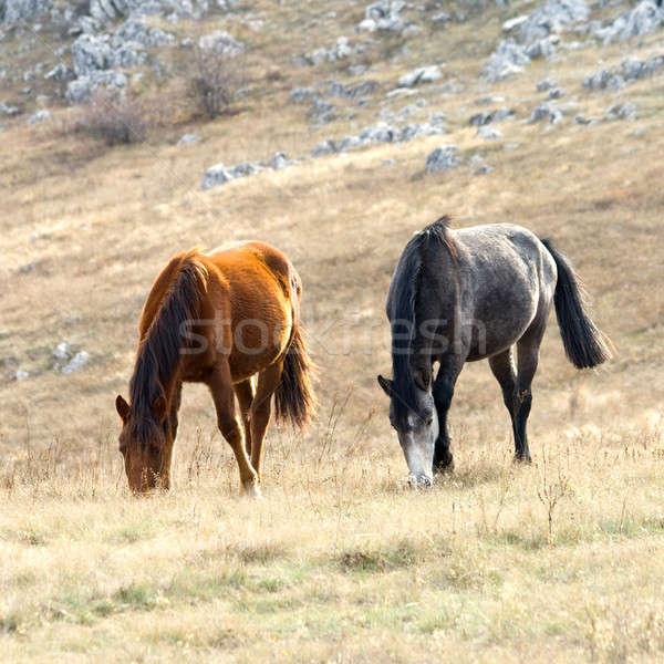 Horses on pasture Stock photo © All32