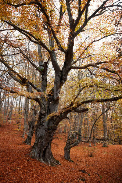Trees with red leaves in autumn forest Stock photo © All32