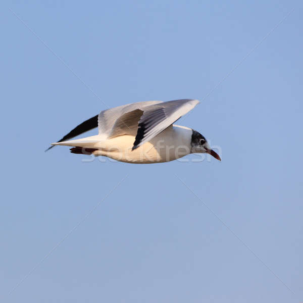 Beautiful flying seagull Stock photo © All32