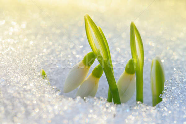Beautiful first snowdrops  Stock photo © All32