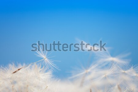Dandelion fluff on a blue Stock photo © All32