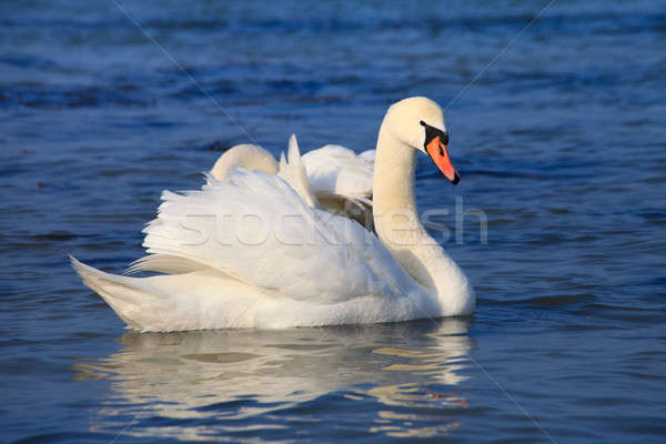 Beautiful white swans Stock photo © All32