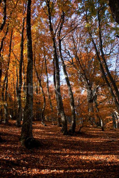 Najaar bos stralen avond zon bomen Stockfoto © All32