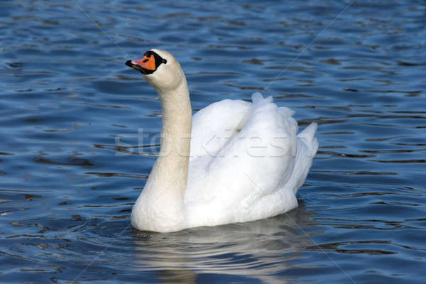 Floating white swan  Stock photo © All32