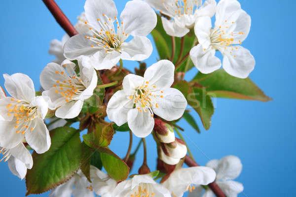 Tak Blauw blad schoonheid witte Stockfoto © All32