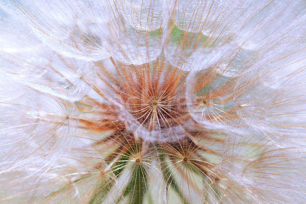 Stock photo: Seeds of a dandelion closeup