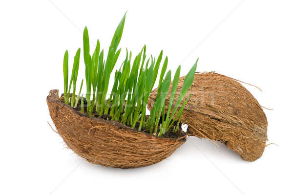 Herbe verte croissant fissuré coco isolé blanche Photo stock © All32