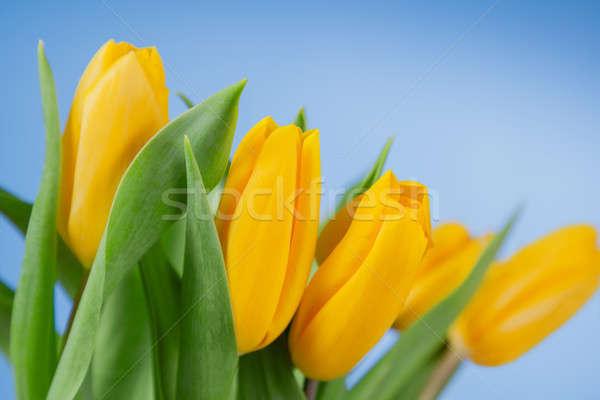 Jaune tulipes bleu belle printemps feuille Photo stock © All32